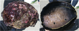 The front and back of my abalone right after abalone diving